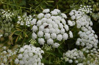 Анис обыкновенный лекарственное растение