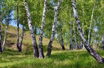 Береза - лечебные свойства листьев, почек и коры березы