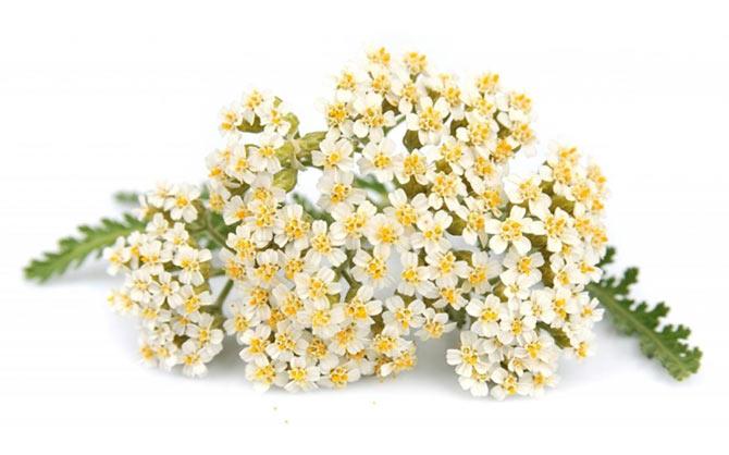 Цветки тысячелистника обыкновенного