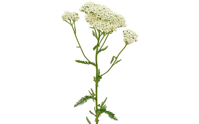 Лечебное растение тысячелистник обыкновенный