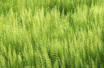 Хвощ полевой - лечебные свойства и применение,
